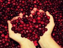 Hundred of cranberries - Valentine's Day