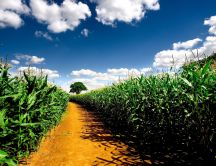 Path through the cornfield