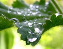 Water drops on leaf nettle - macro wallpaper
