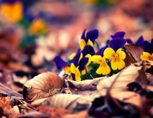 Pansies among the leaves of the trees - HD wallpaper