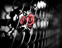 Artistic picture - red rose behind bars