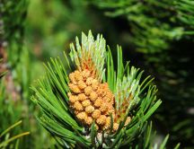 Flower pin - macro conifers