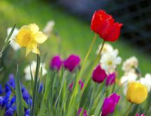 Colorful garden - tulips and daisies