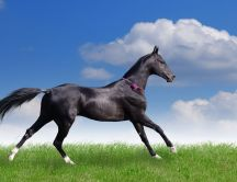 Beautiful black horse running on a green meadow HD wallpaper