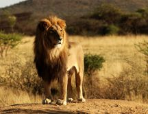 King of the Jungle - beautiful lion