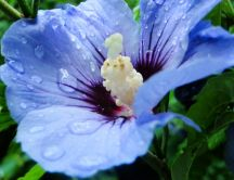 Beautiful blue flower in the morning - macro drops of water