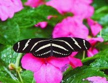 Zebra butterfly - beautiful insect om a pink flower
