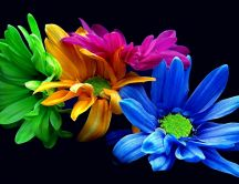 Colored petals of chrysanthemum - HD wallpaper