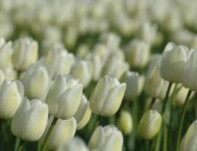 Beautiful garden full of white tulips - HD wallpaper