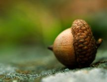 A macro acorn - food for squirrels
