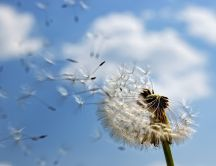 Dandelion puff spread through the air