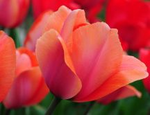 Close up - beautiful red tulips