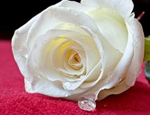Macro - white rose - story love