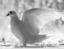 Beautiful white dove of peace - HD wallpaper