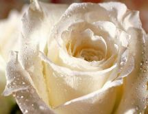 Sign of purity - beautiful white rose