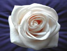 A soft white rose on a purple silk