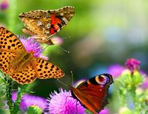 Three playful butterflies - HD wallpaper