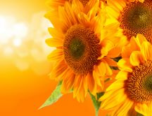 Sunflowers - a splash of color and warmth