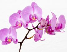 Beautiful pink orchid flowers - HD wallpaper