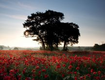 Beautiful field full of red poppies - HD wallpaper