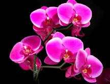 Beautiful pink orchid - dark background