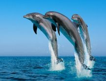 Playful dolphins - jumping in the water