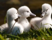 Three little baby swans - sweet animal