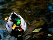 One duck on a lake in the sun - HD wallpaper