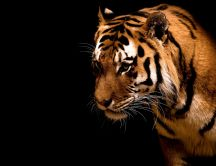 A look of fierce animal - the tiger