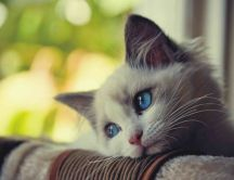 Sad little kitty - beautiful blue eyes