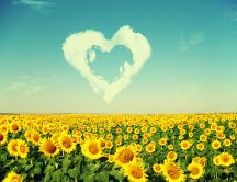 Sunflowers love the sun - HD nature wallpaper
