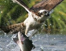Big eagle catch a fish from the river - macro HD wallpaper