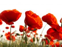 Red poppies in a field - HD beautiful flowers