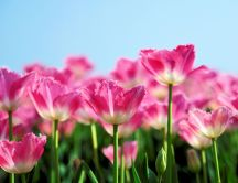 Garden full of pink tulips - natural flowers