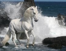 Beautiful white horse in the waves of the sea