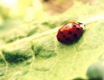 Courageous small ladybug on a green leaf - macro