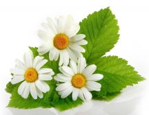 Small bouquet of three daisies - HD wallpaper