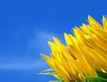 Good morning sunflower - nature HD wallpaper