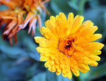 Macro wallpaper - yellow flower in the morning