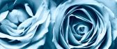 Two beautiful blue flowers - HD roses