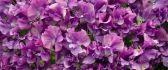 Beautiful purple wallpaper - carpet of flowers