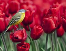 Little yellow bird in a garden full of red tulips