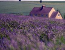 Purple field - wonderful flowers on the garden