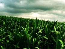 Beautiful green cornfield - HD nature wallpaper