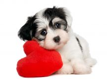 Little sweet puppy and his toy - a fluffy red heart