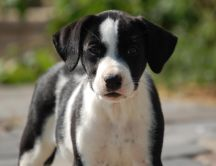 Beautiful black and white dog - sweet animal