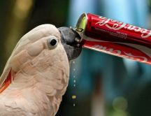 Sweet white parrot drinking coca-cola
