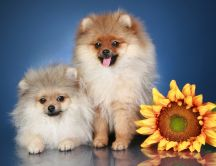 Fluffy dogs and a sunflower - HD funny wallpaper
