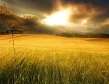 Yellow field - beautiful wheat in the sunlight