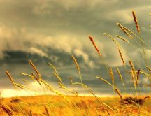 Beautiful wheat in the golden light of the sun -HD wallpaper